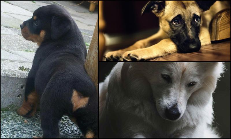 Sahiplerinin Köpekler Üzerinde Özelliklere Karar Vermesi
