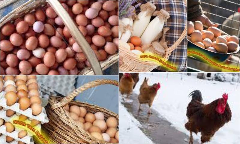 Köy Yumurtasının Diğer Yumurtalardan Farkları