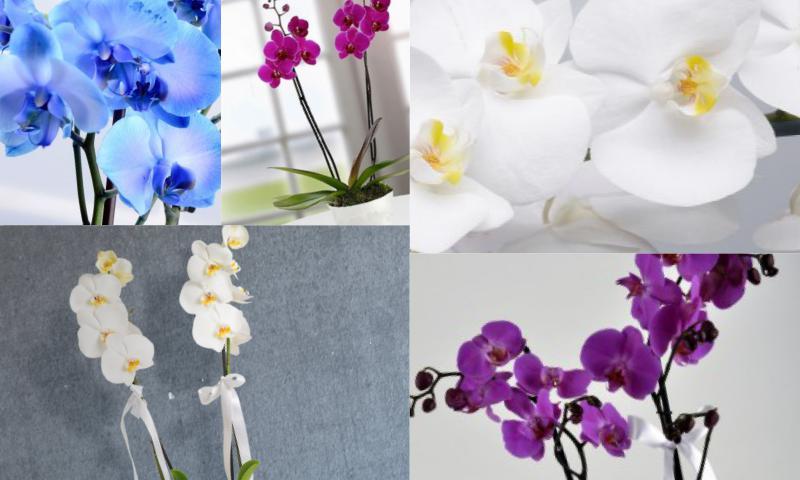 Orkide Çiçeğinin Özellikleri